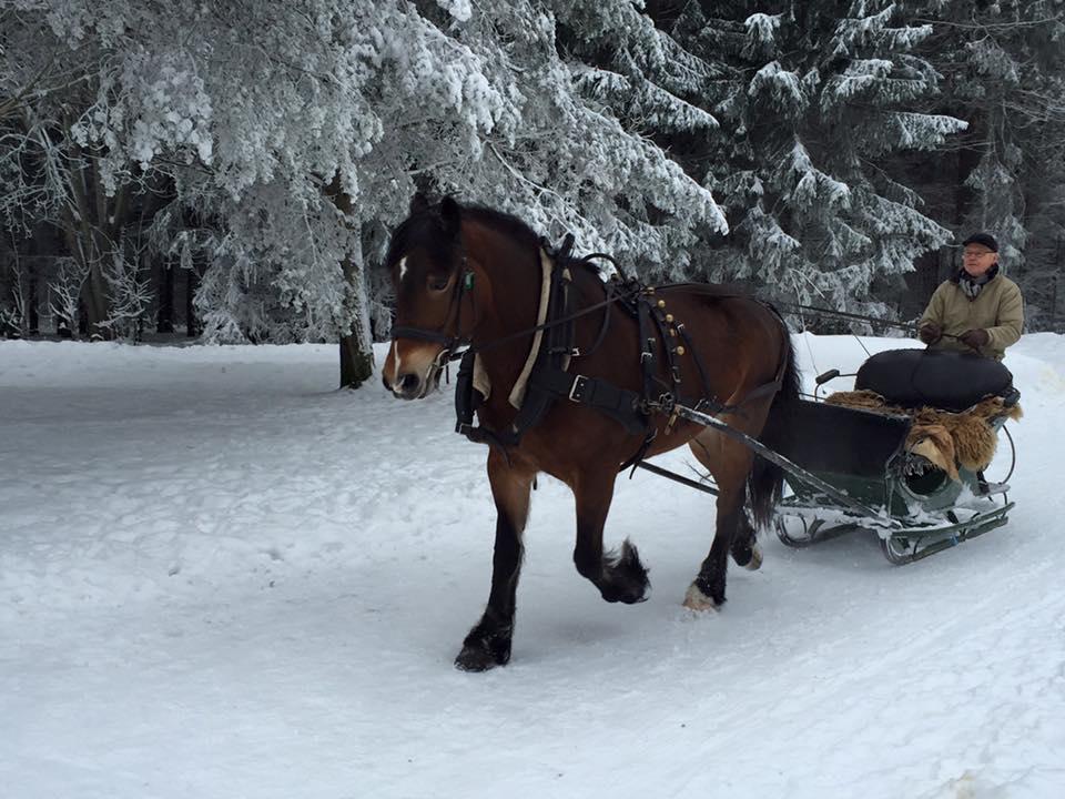 Knussi trekker slede i vakkert vintervær